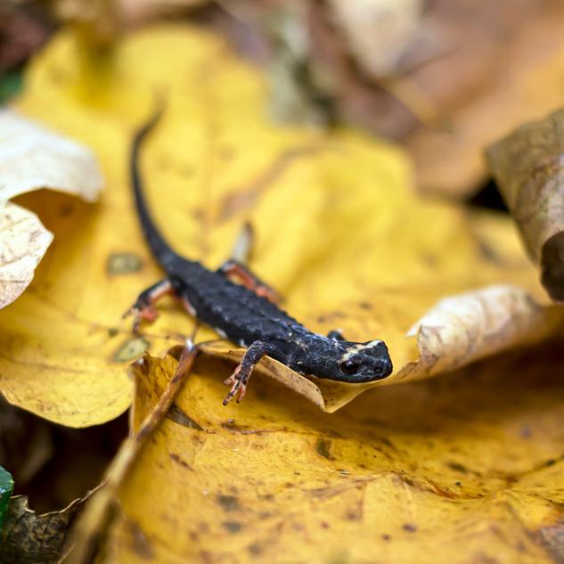 Salamandra dagli occhiali.jpg