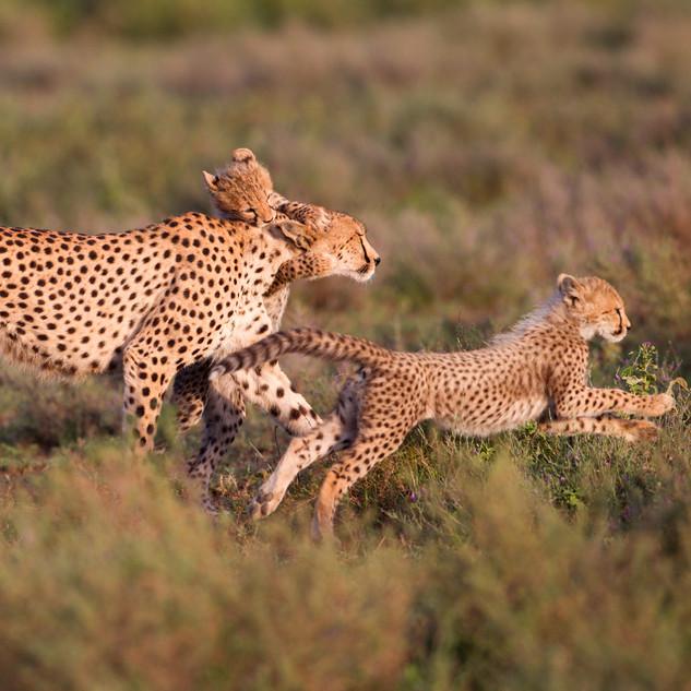 Famiglia di Ghepardi Tanzania Africa.jpg