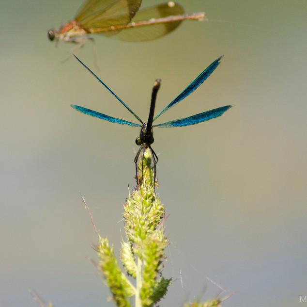 Calopteryx splendens.jpg