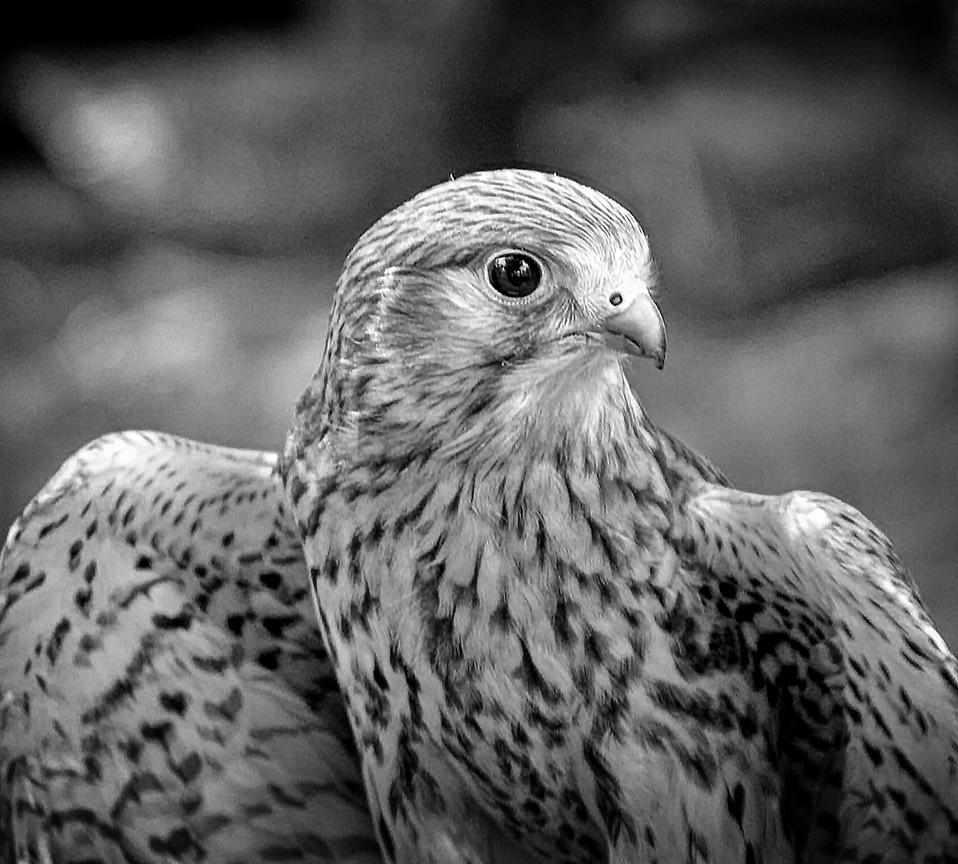 Falco tinnunculus Linnaeus, 1758  Gheppi