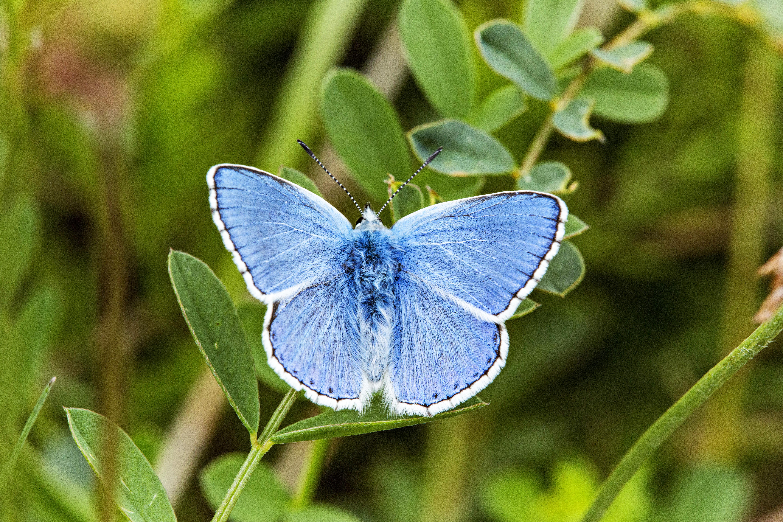 Polyammatus (Lysandra)  bellargus_002 De