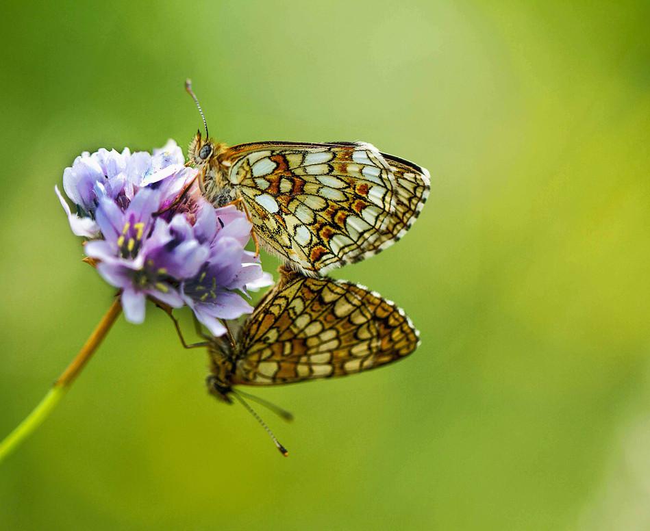 Farfalle-in-accoppiamento, Monti-Alburni