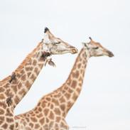 5_Giraffe.jpg