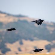 Famiglia corvi imperiali