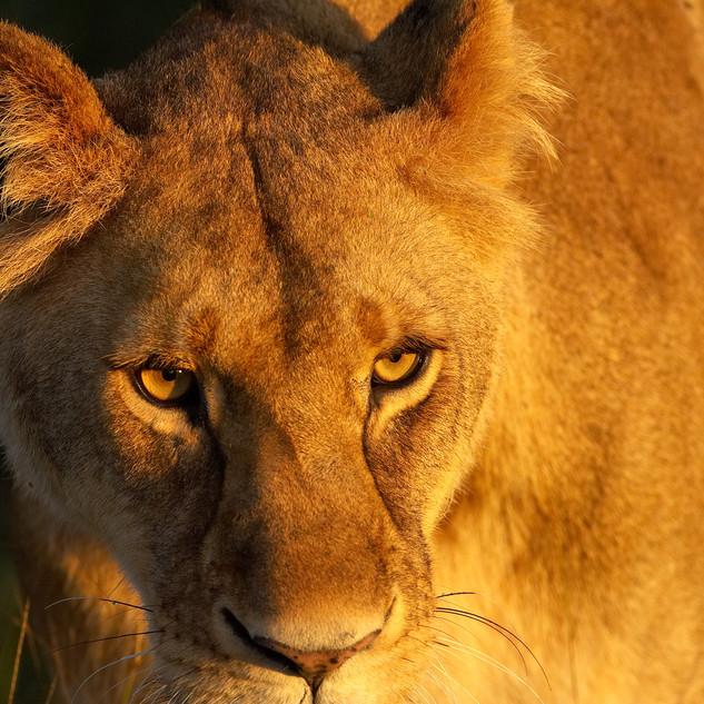 Leonessa Masai Mara Africa.jpg