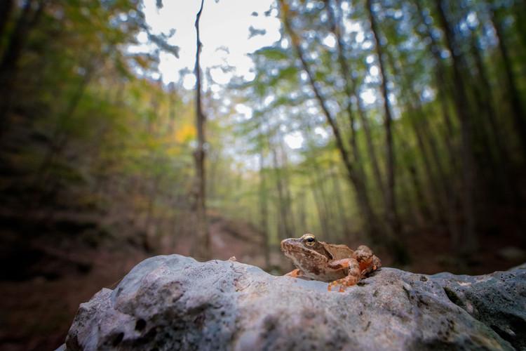 rana_italica_monte_polveracchio3.jpg