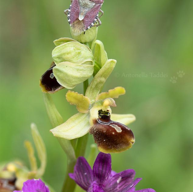 05-Orchidee_abruzzo.jpg
