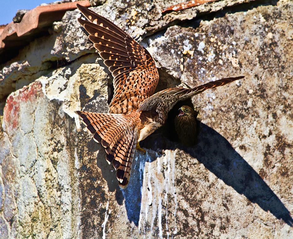 gheppio al nido nei ruderi di cancello a