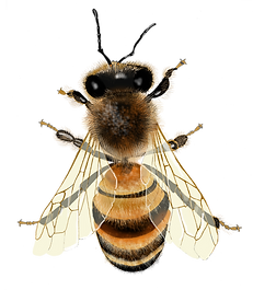 Bee - first edit.png