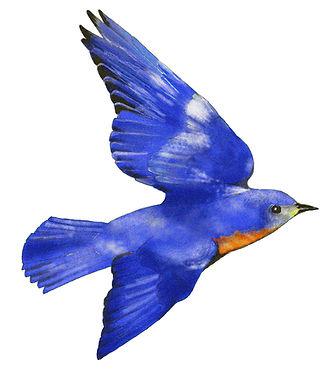 Bluebird - PS edit 2.jpg