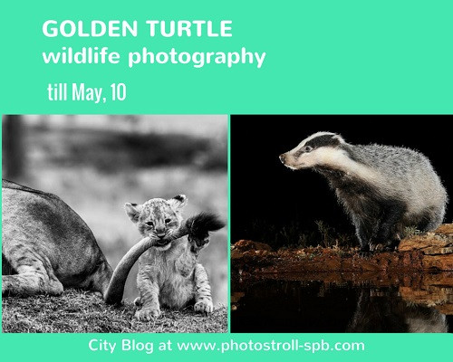 Golden turtle photography
