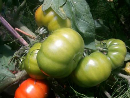 Allégorie de la tomate de Socrate suite 2