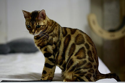 The Bengal Cat looking at something very important