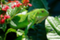 green iguana pet lurking on a branch