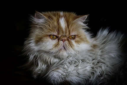 fluffy persian cat with teary eyes