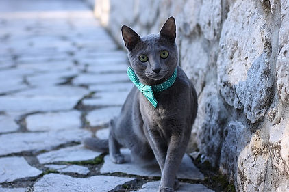 Russian Blue wearing a bow tie looks at the camera