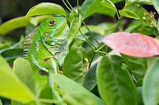 iguana-4831652_640.jpg
