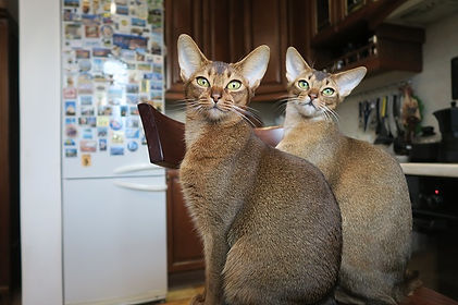 2 Abyssinian Cats sitting on a chair