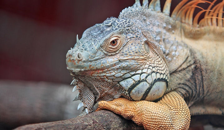 orange iguana pet lizard reptile sitting on a branch