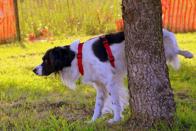 Choose a tree and teach dog to pee outside near the tree