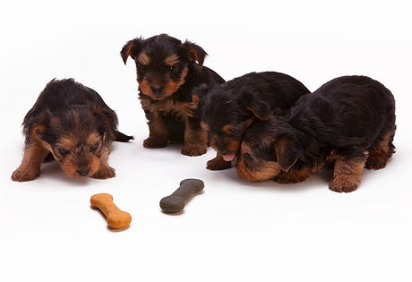 black and tan yorkshire terrier puppy looking at homemade meals for dogs