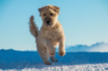 soft coated wheaten terrier jumping and playing in snow