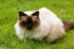 Himalayan cat sitting on the grass closing her eyes