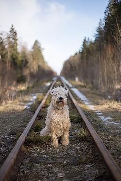 An Irish wheaten terrier sitting on a railway track