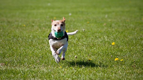 A pet is fetching a ball in a positive reinforcement dog training method