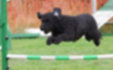 dog jumping a hurdle in a dog obedience training
