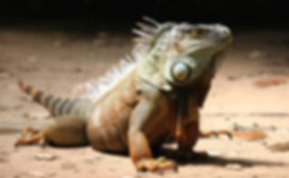 Green iguana pet crawling on the floor