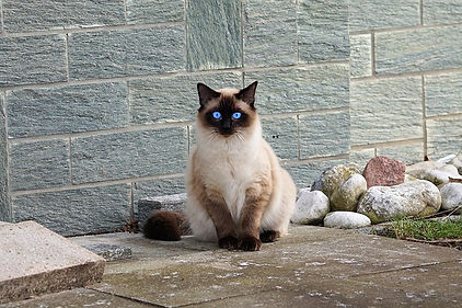 Siamese Cat sitting and staring with her beautiful blue eyes