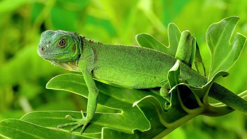 baby green iguana sitting on a plant leaf