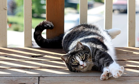 American Shorthair stretching on the floor
