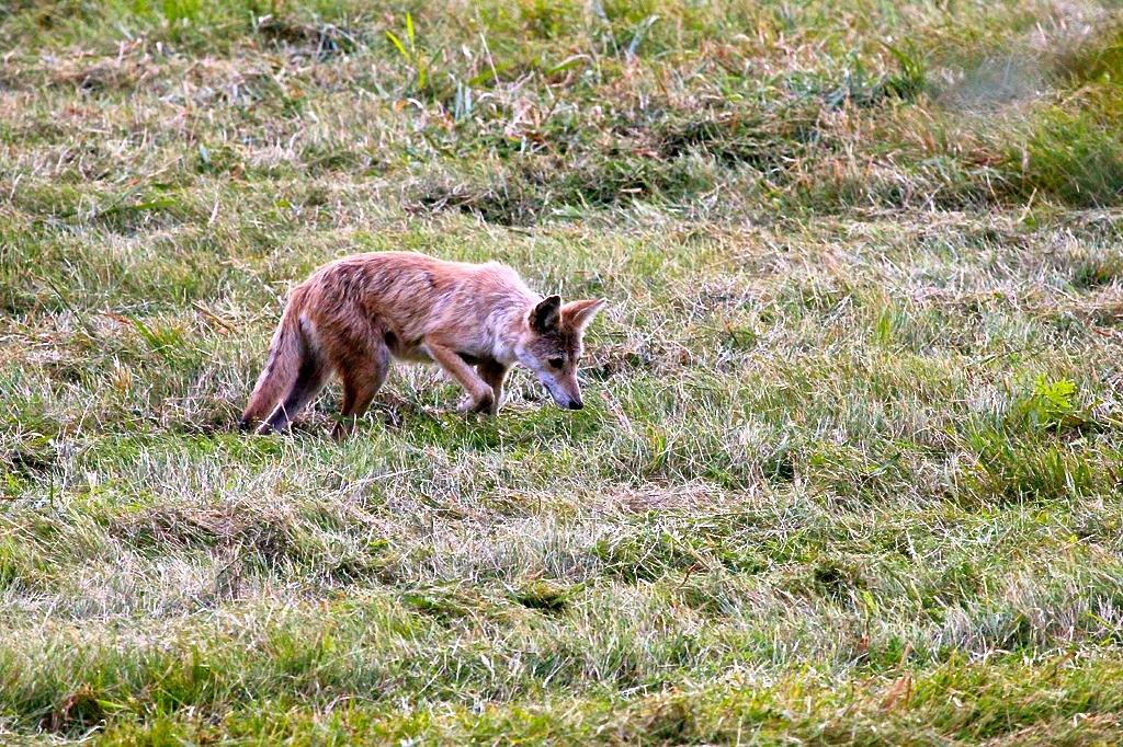 Coyote hunting mice