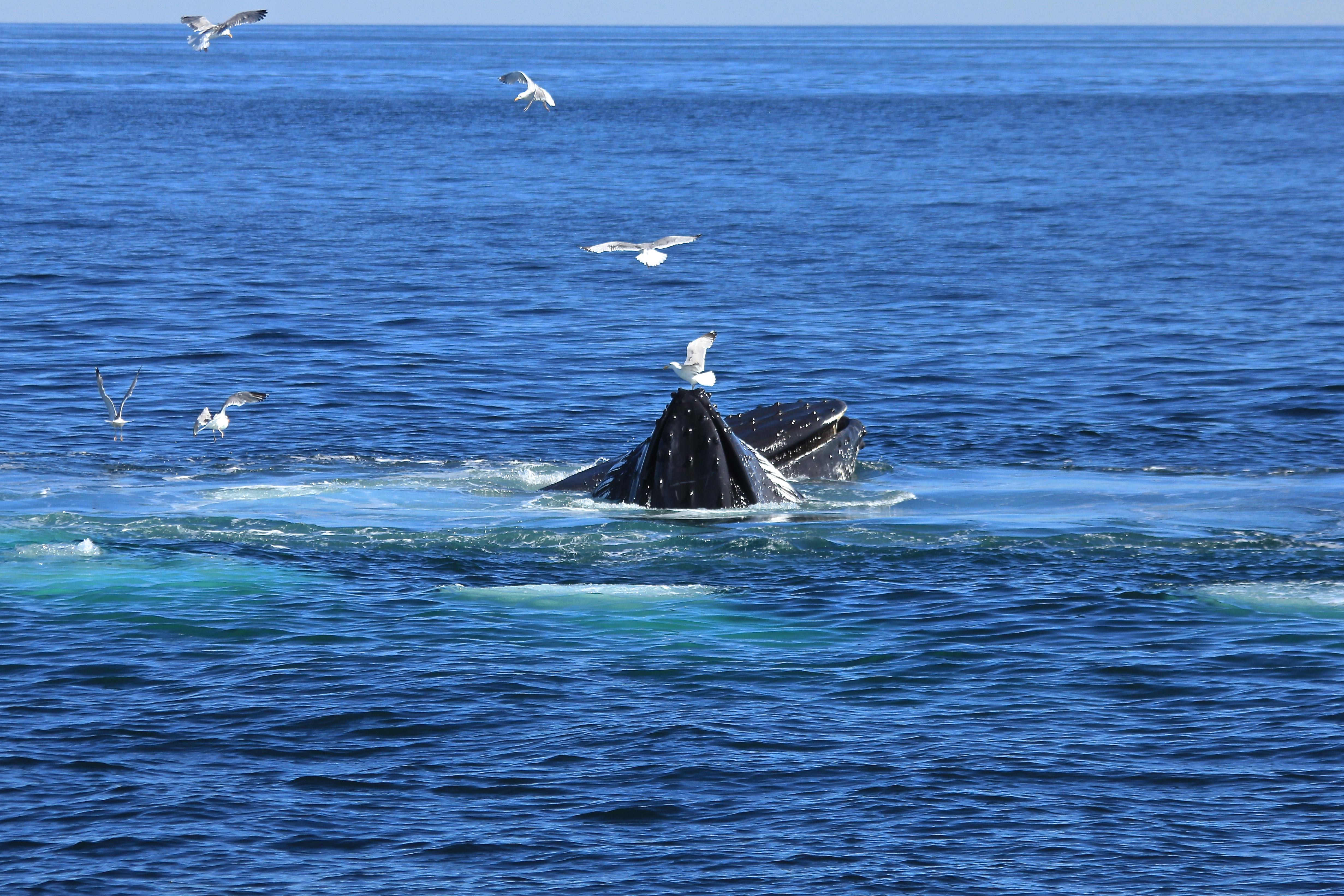 Humpback Whales, Cow & Calf