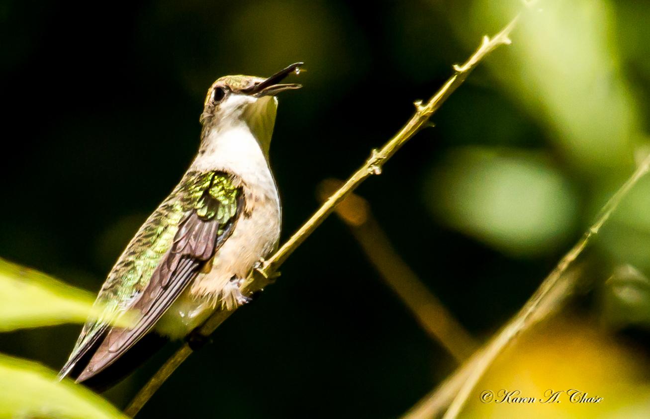 Hummingbird with gnat