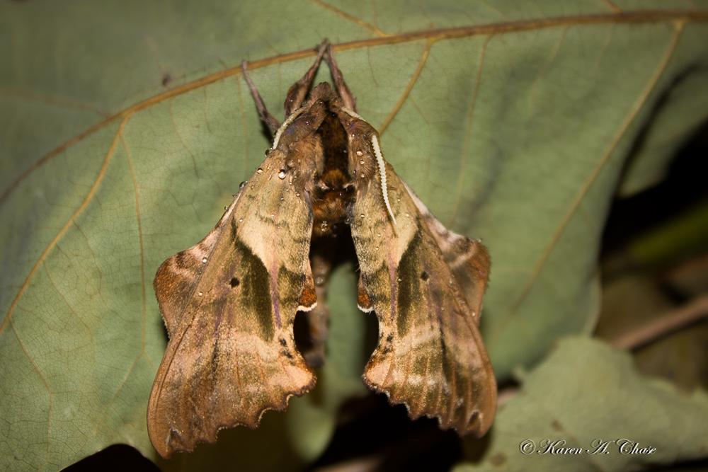 Blind Sphinx Moth