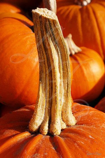 625A6 Close up shot of a pumpkin stalk