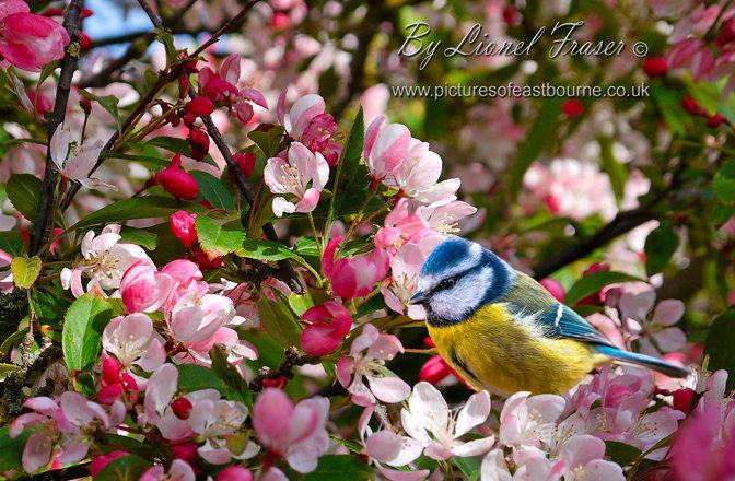 630F1 Blue Tit Bird in apple blossom tree