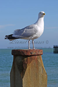Seagull on Groyne Eastbourne Pier