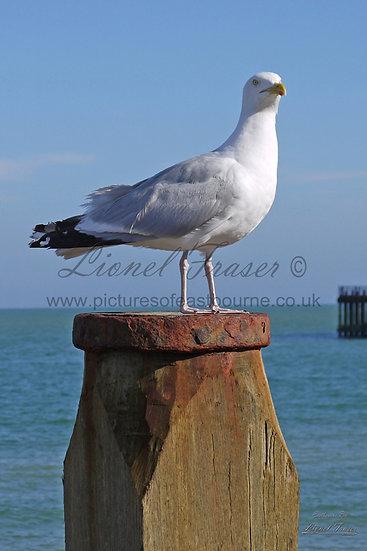 SP107A1 Seagull on Beach Groyne