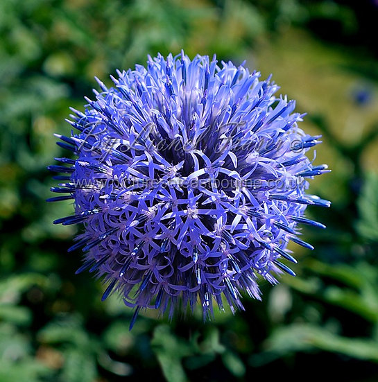 630D1 Purple Allium Flower