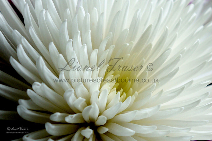 630C1 Chrysanthemum Anastasia White Flower