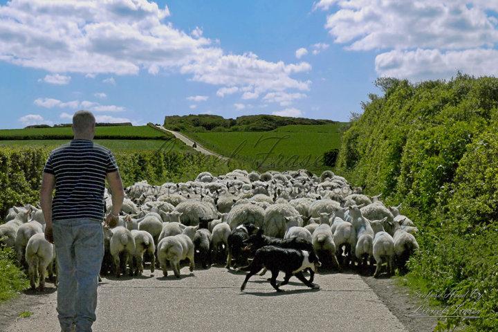 421 Farmer herding his sheep down a countryside