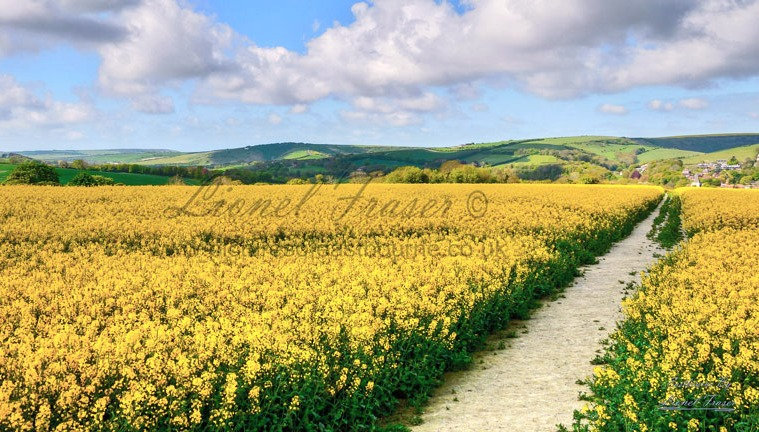 128A2 Rapeseed Field at The Longman of Wilmington