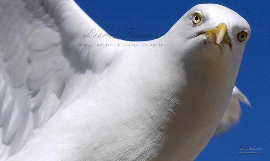 107B4 Staring Hawk like seagull