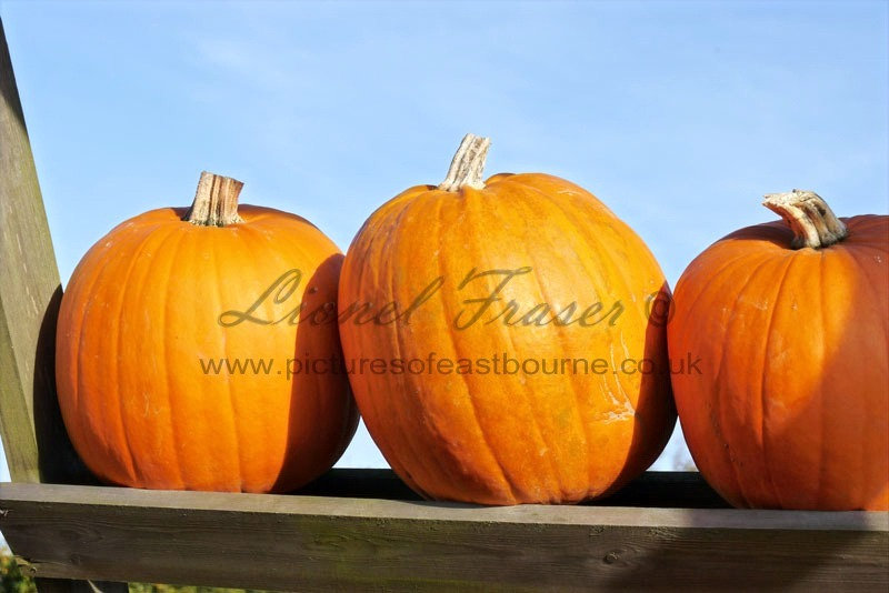 625A2 Pumpkins on a shelf