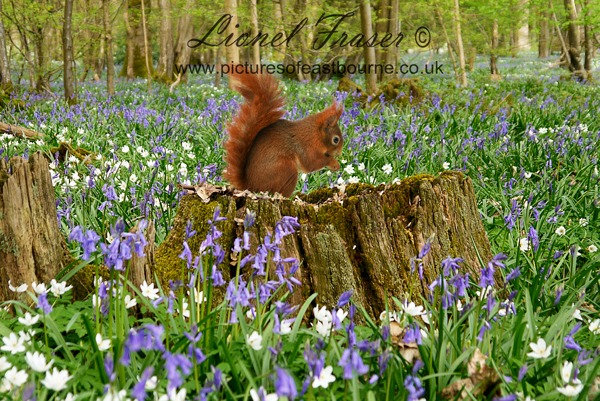215G2 Red Squirrel on tree stump in Bluebell Woods