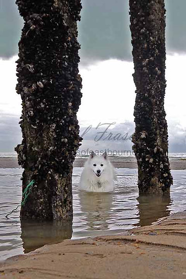 261G White American Eskimo Dog in The Water